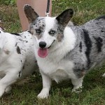 Cardigan Welsh Corgis