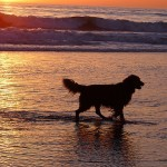 Ocean Beach Golden Retriever