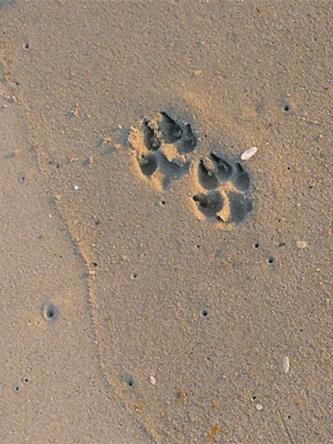 Dog Paw Prints in Sand
