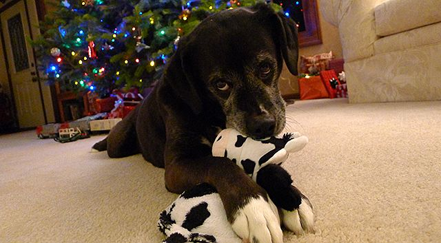 Dog with Cow Toy