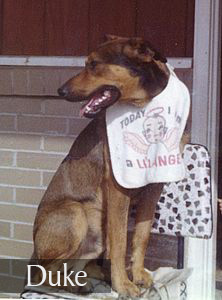 Duke the German Shepherd