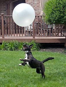 Dog with Exercise Ball
