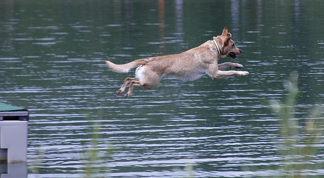 Dock Diving Dog