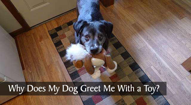 Why Does My Dog Greet Me With a Toy?