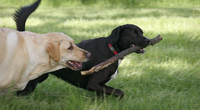 Dogs Playing with Stick