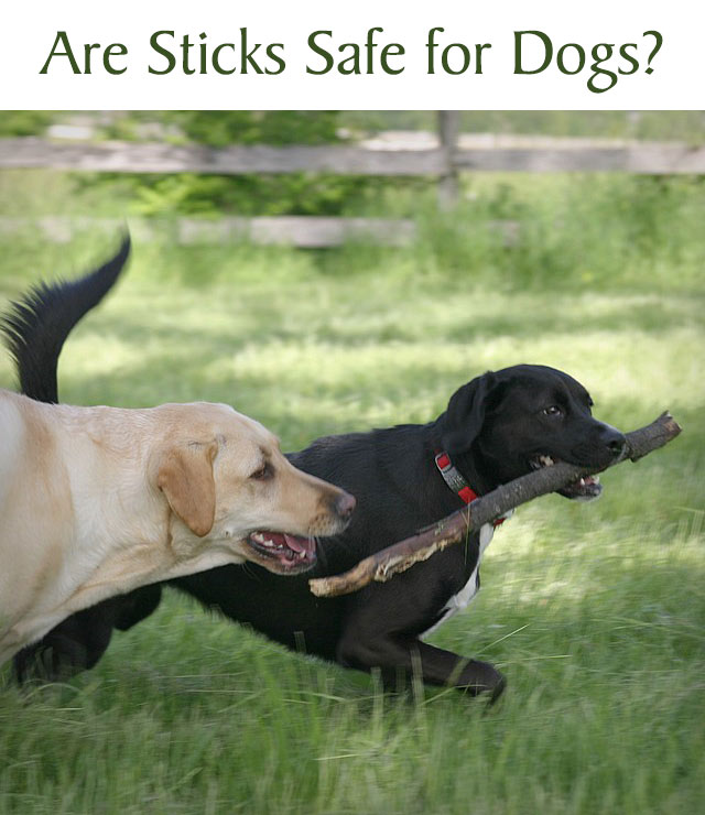 Are Sticks Safe for Dogs?