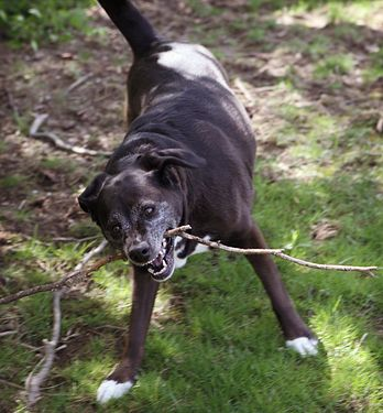Dog Breaking Stick with Teeth