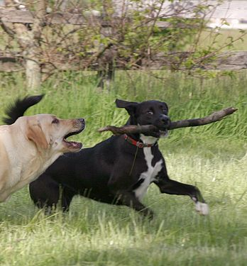 Dogs Fighting Over Stick