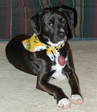 Pittsburgh Steeler Dog