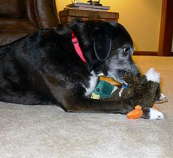 Dog Chewing on Duck Toy