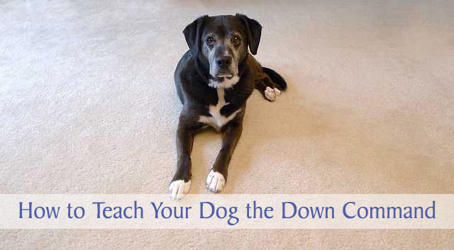 how to teach your dog to stay down