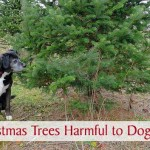 Are Christmas Trees Harmful to Dogs?