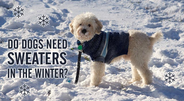Do Dogs Need Sweaters in the Winter?