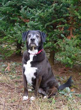 Dog at Christmas Tree Farm