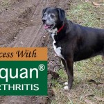 Our Success With Adequan for Arthritis