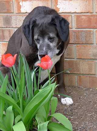 Dog Sniffing Tulip