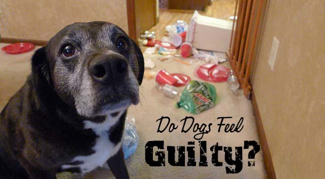 Do Dogs Feel Guilty?