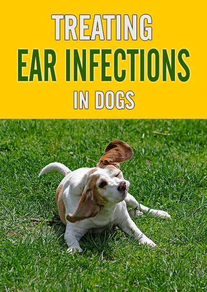 Treating Ear Infections in Dogs