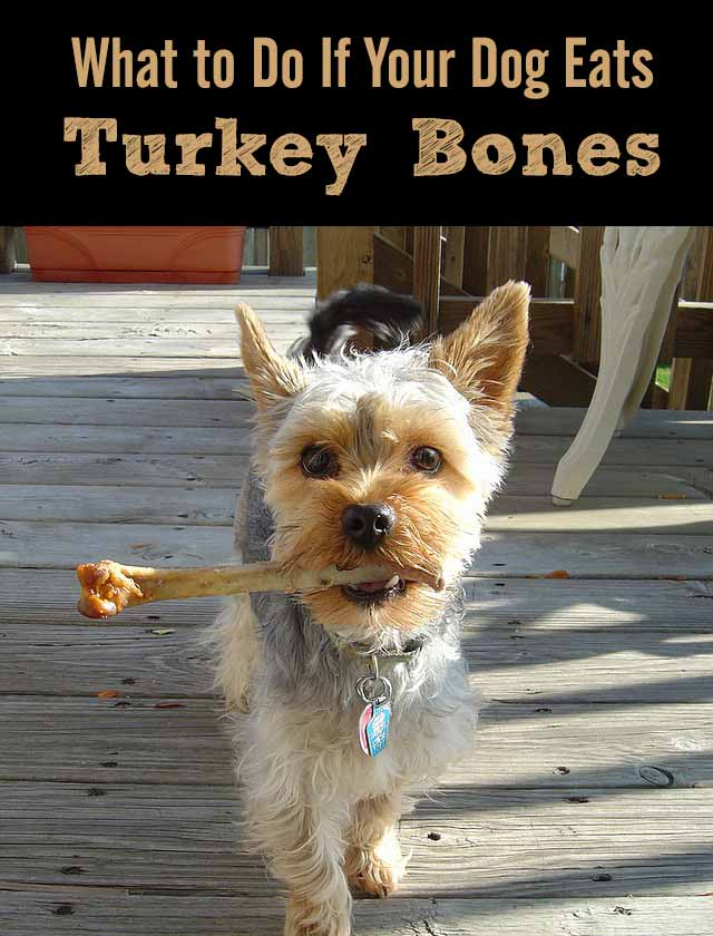 What to Do If Your Dog Eats Turkey Bones