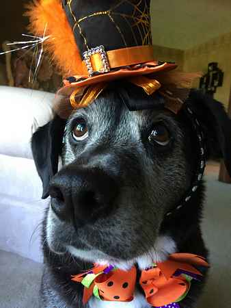 Dog in Halloween Hat