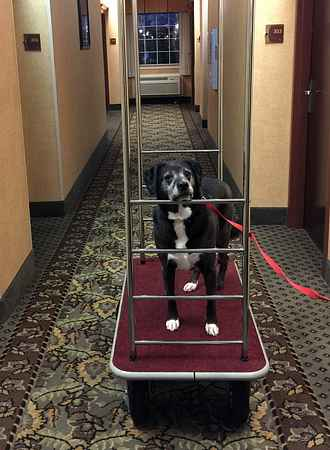 Dog Riding Luggage Cart