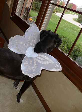Dog Wearing Angel Wings